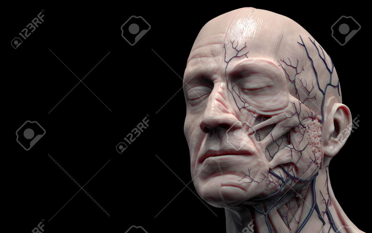 Head Anatomy Isolated , Medical Image Reference Of Human Anatomy ...