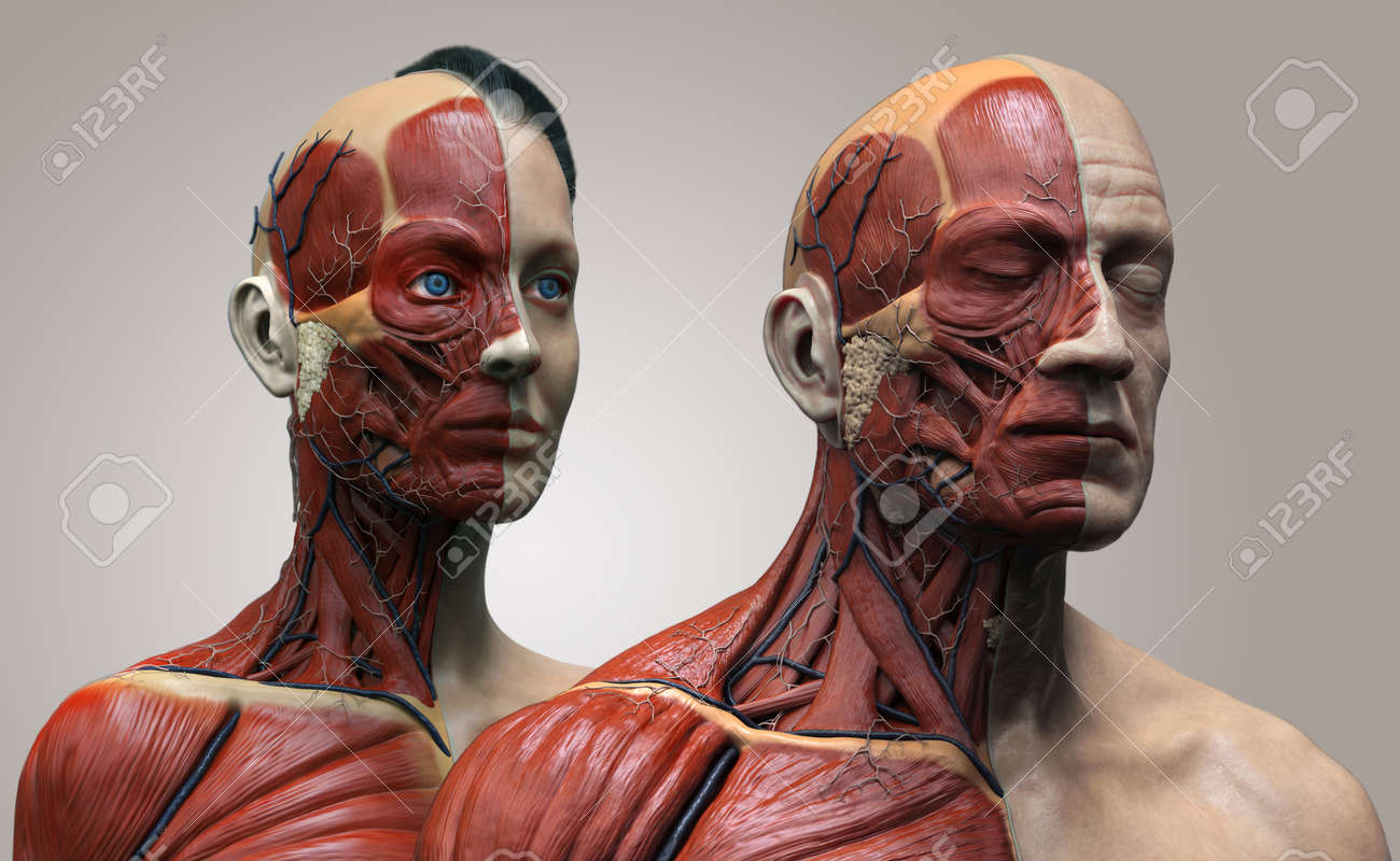 Human Body Anatomy , Male And Female Anatomy Background , Muscle ...
