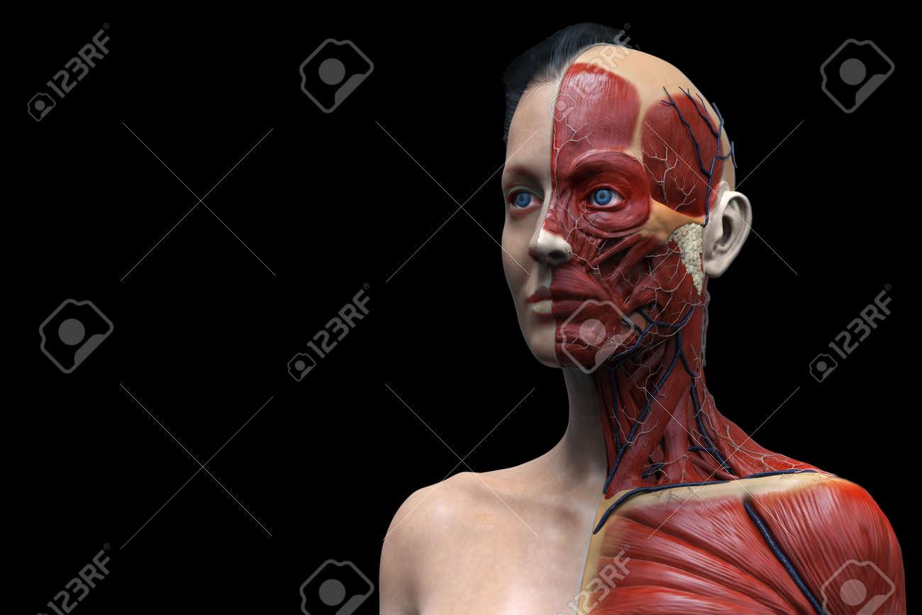 Anatomía Del Cuerpo Humano De Una Mujer Anatomía Muscular, Mujer ...