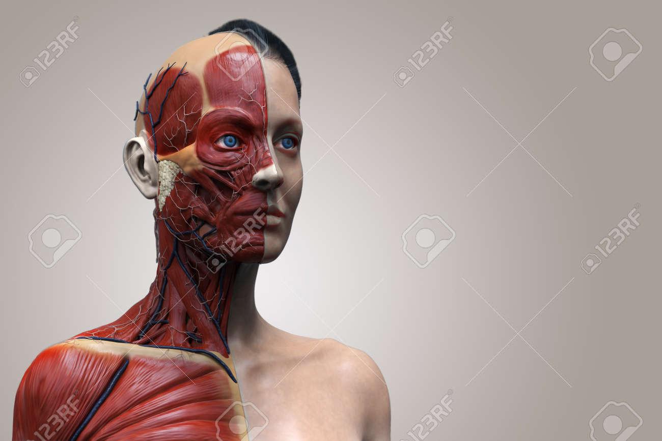 Der Menschliche Körper Anatomie Einer Frau, Frau Muskulösen Anatomie ...
