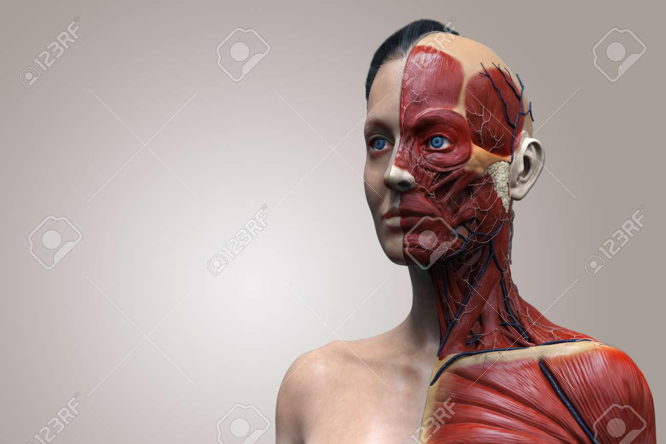 Anatomie Corps Humain Femme l'anatomie du corps humain d'une anatomie musculaire femme, femme