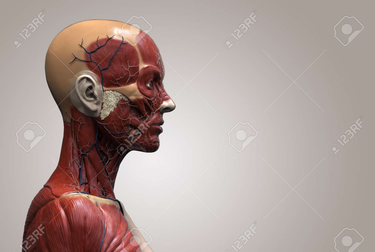 Human Body Anatomy Of A Female - Muscle Anatomy Of The Face Neck ...