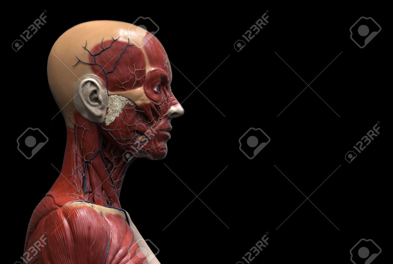 Human Body Anatomy Of A Female Muscle Anatomy Of The Face Neck