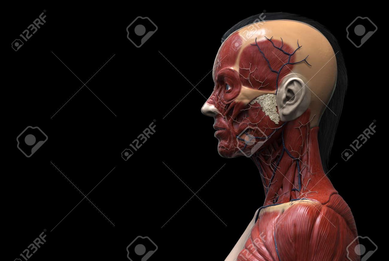 La Anatomía Humana Cuerpo De Una Mujer - La Anatomía Del Músculo Del ...