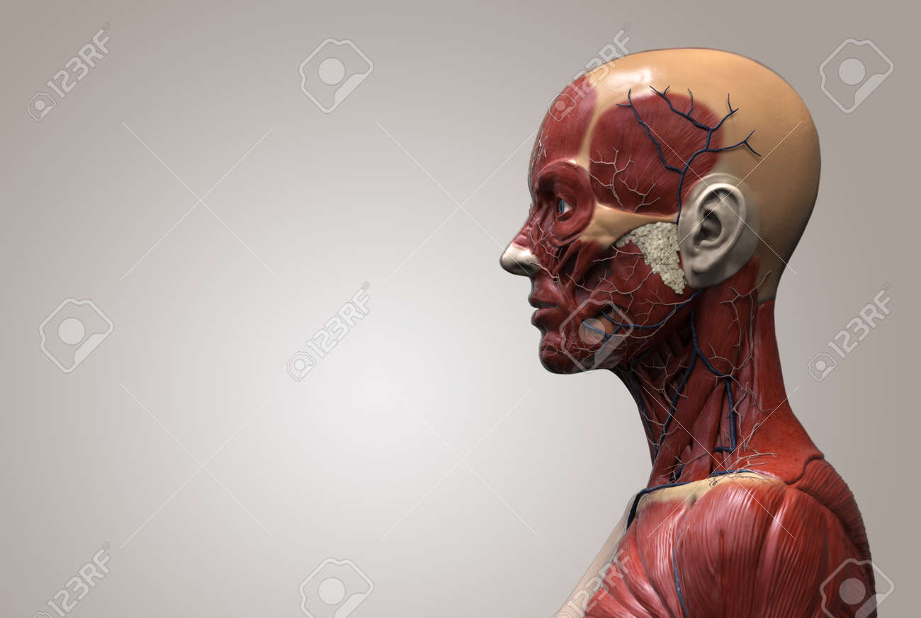 Face And Neck Anatomy Image collections - human body anatomy