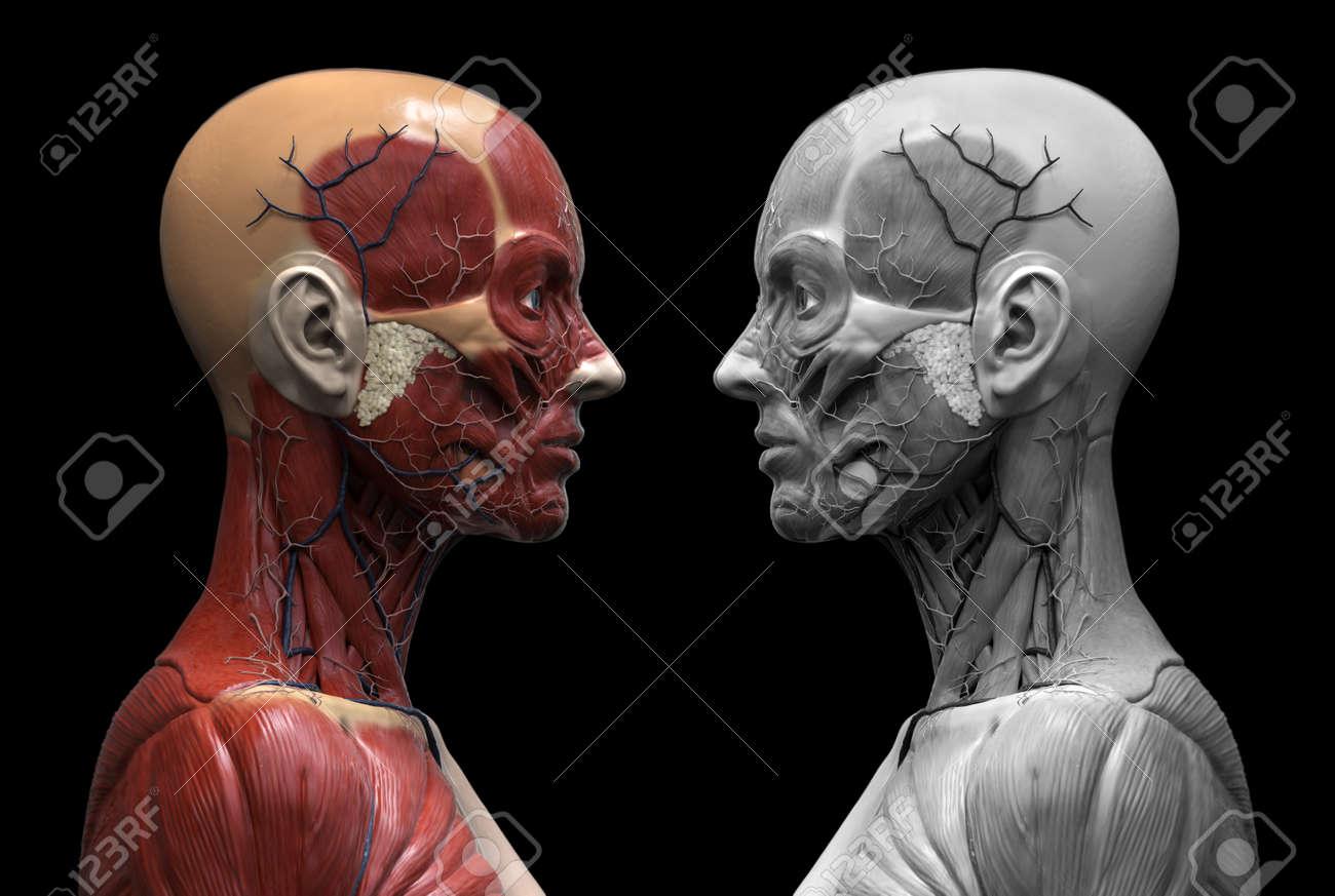 La Anatomía Humana - La Anatomía Del Músculo Del Cuello Cara Y El ...