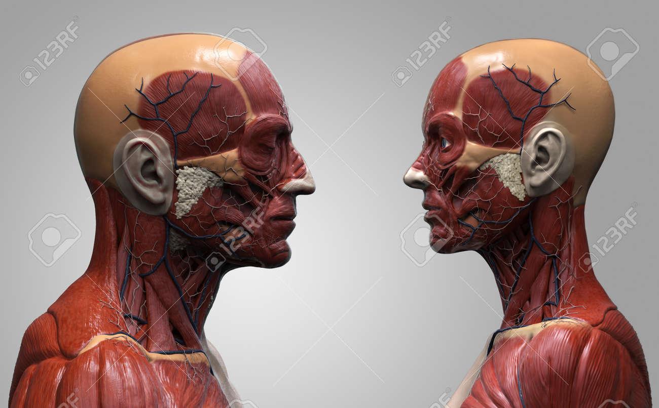 Human Body Anatomy Background Male And Female Muscle Anatomy