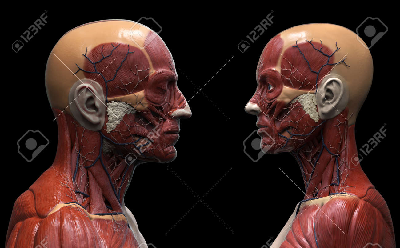 Fondo Anatomía Del Cuerpo Humano, Masculino Y Femenino, La Anatomía ...