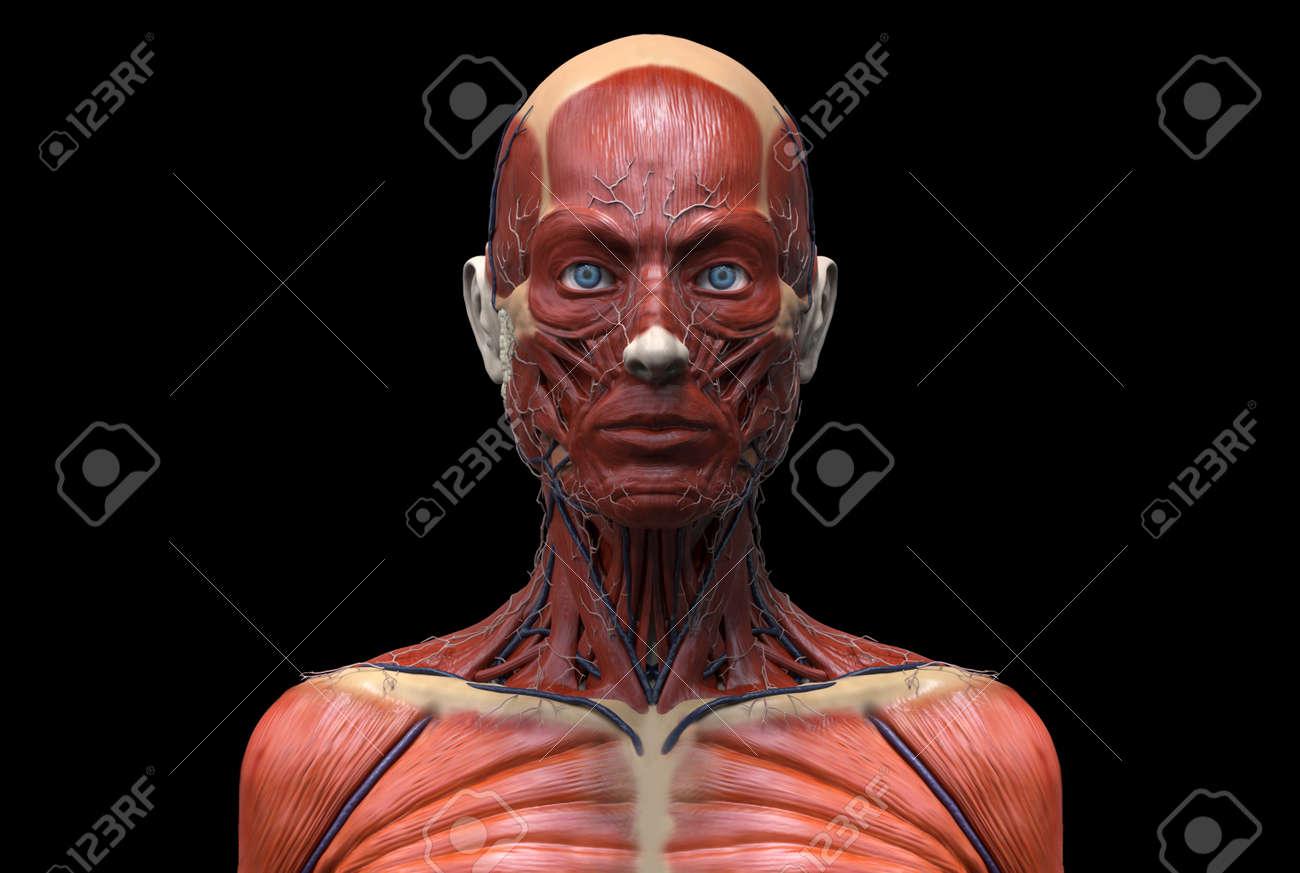 Der Menschliche Körper Anatomie Eines Weiblichen - Muskelanatomie ...