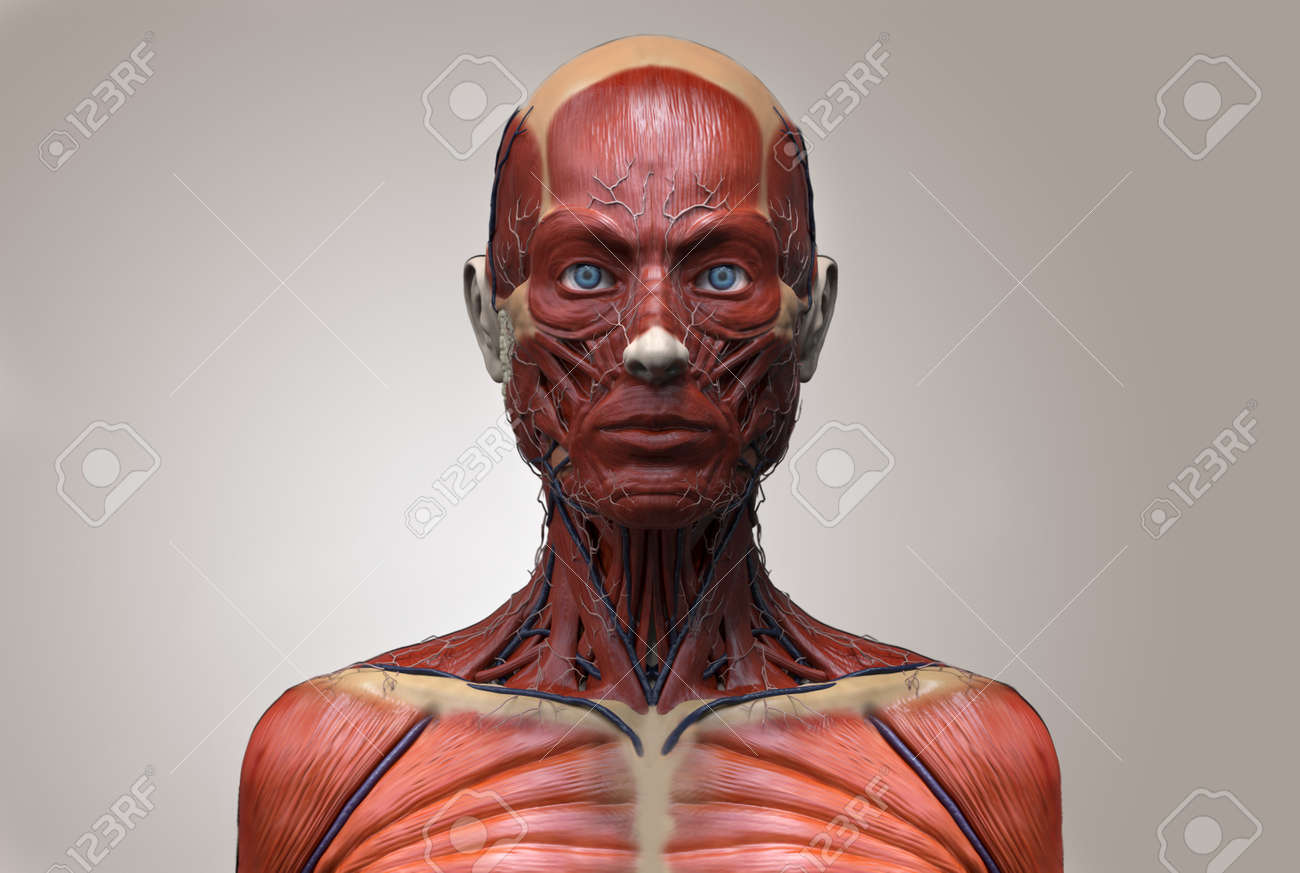 Human Anatomy Of A Female Muscle Anatomy Of The Face Neck And