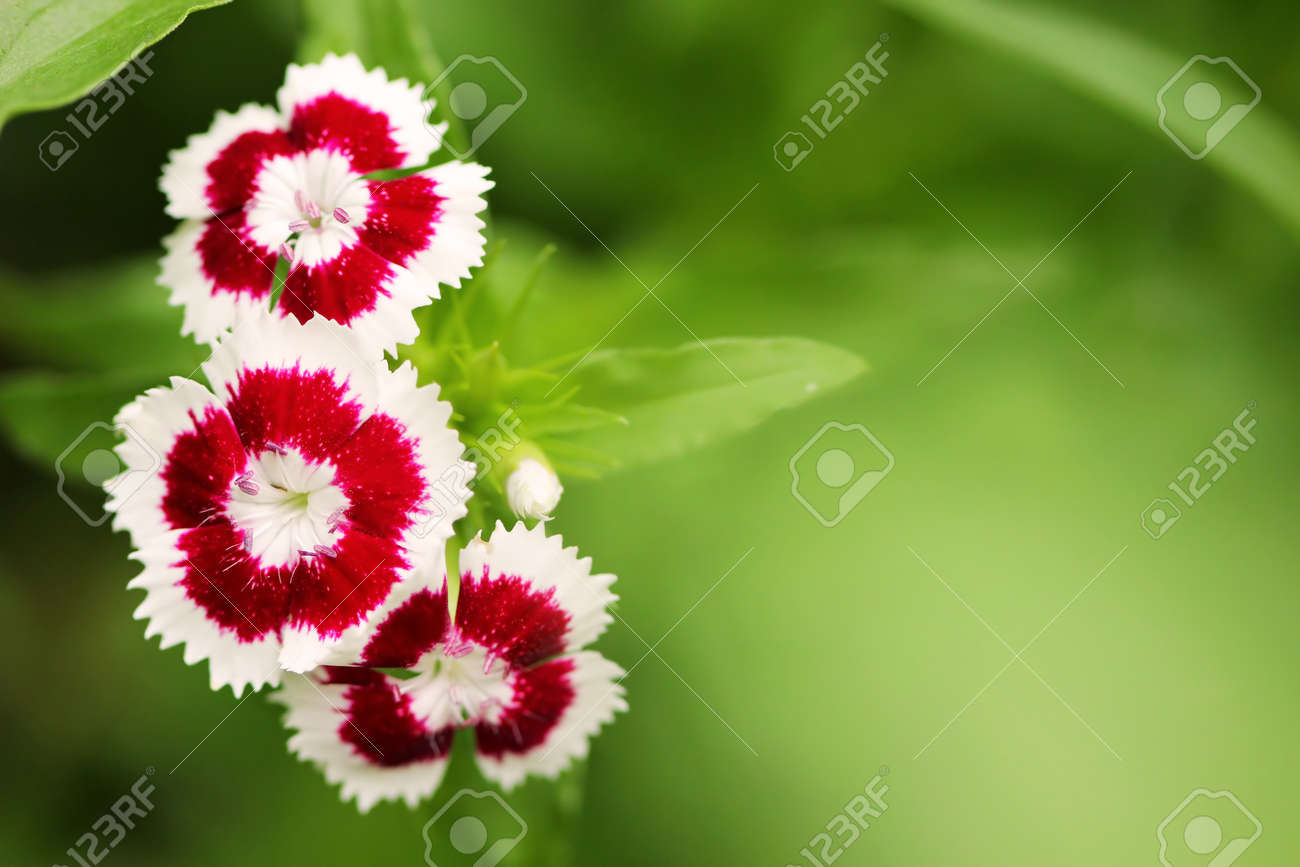 Small Red And White Flowers Close Up Stock Photo Picture And