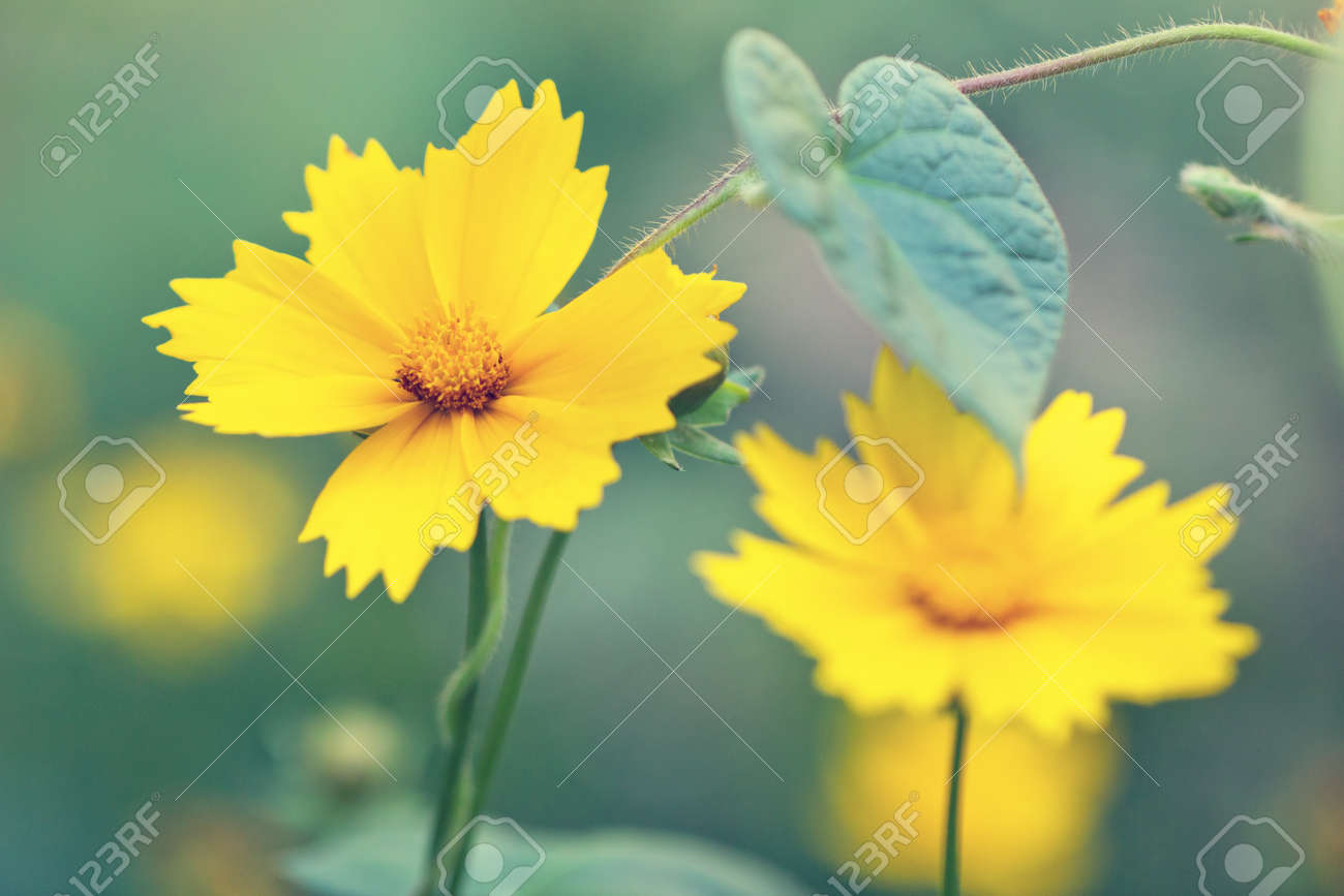 Cute Yellow Flowers In A Fog Stock Photo Picture And Royalty Free