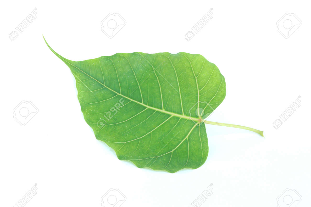 Bo Leaves Heart Shaped Leaves Are Long End On White Background