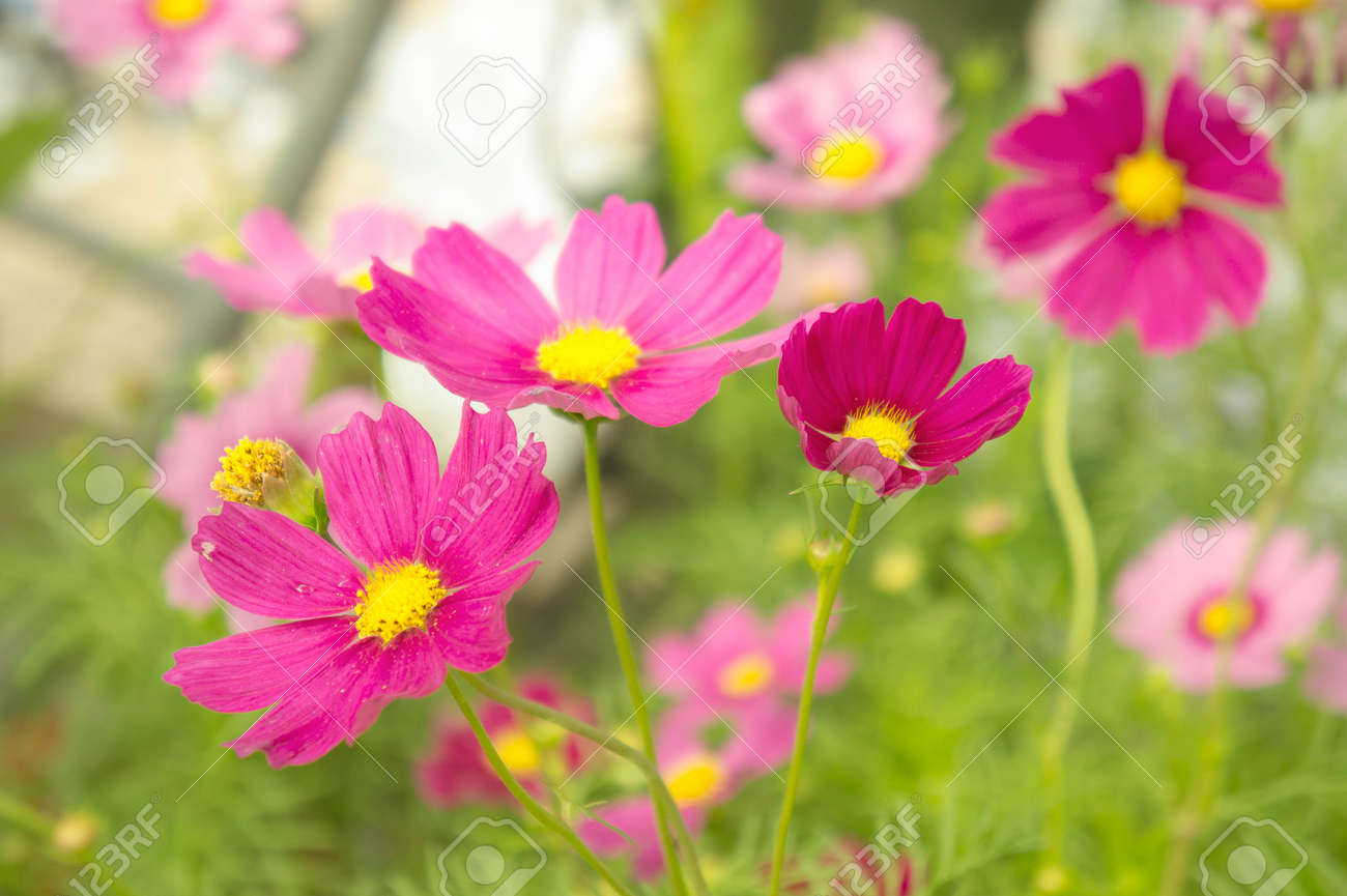 Pink flowers in the park cosmos flowers in the garden with stock pink flowers in the park cosmos flowers in the garden with sunlight pastel vintage style mightylinksfo