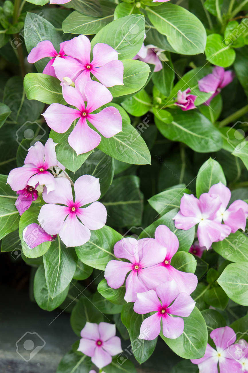 Vinca Rosea Flowers Blossom In The Garden Stock Photo Picture And