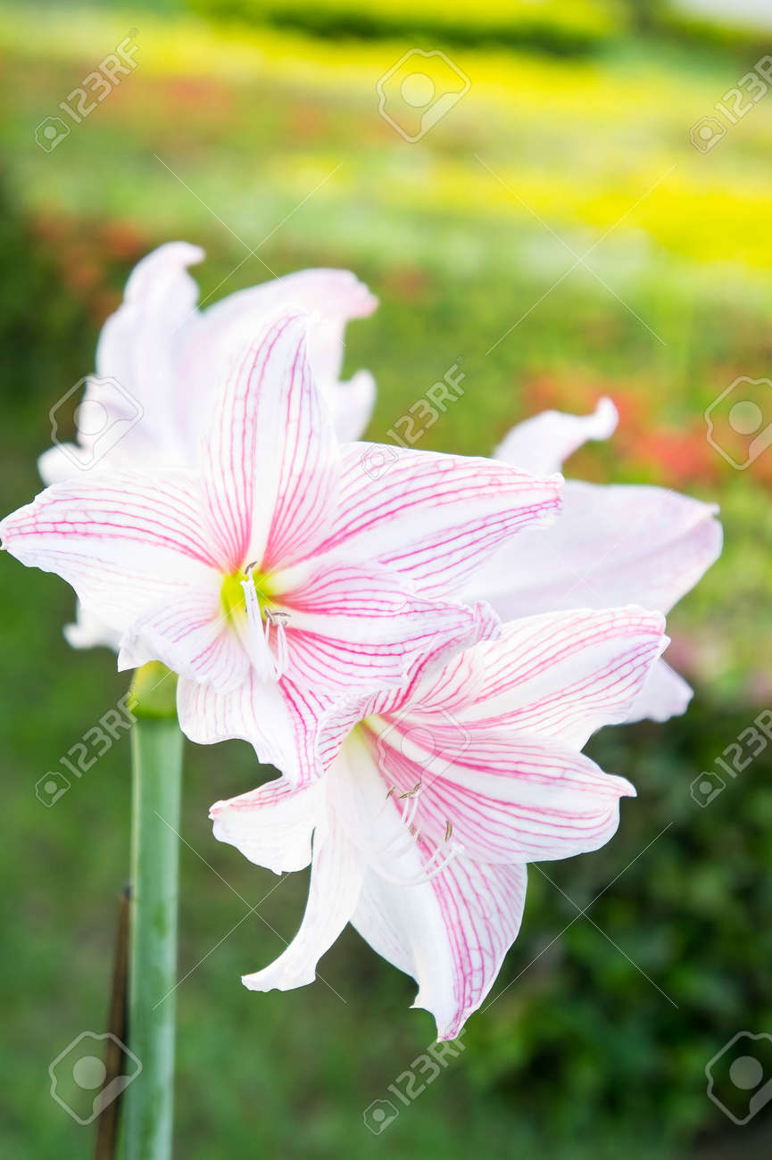 Hippeastrum flowers flowers like lilies is a beautiful romantic hippeastrum flowers flowers like lilies is a beautiful romantic flower vintage style stock photo izmirmasajfo