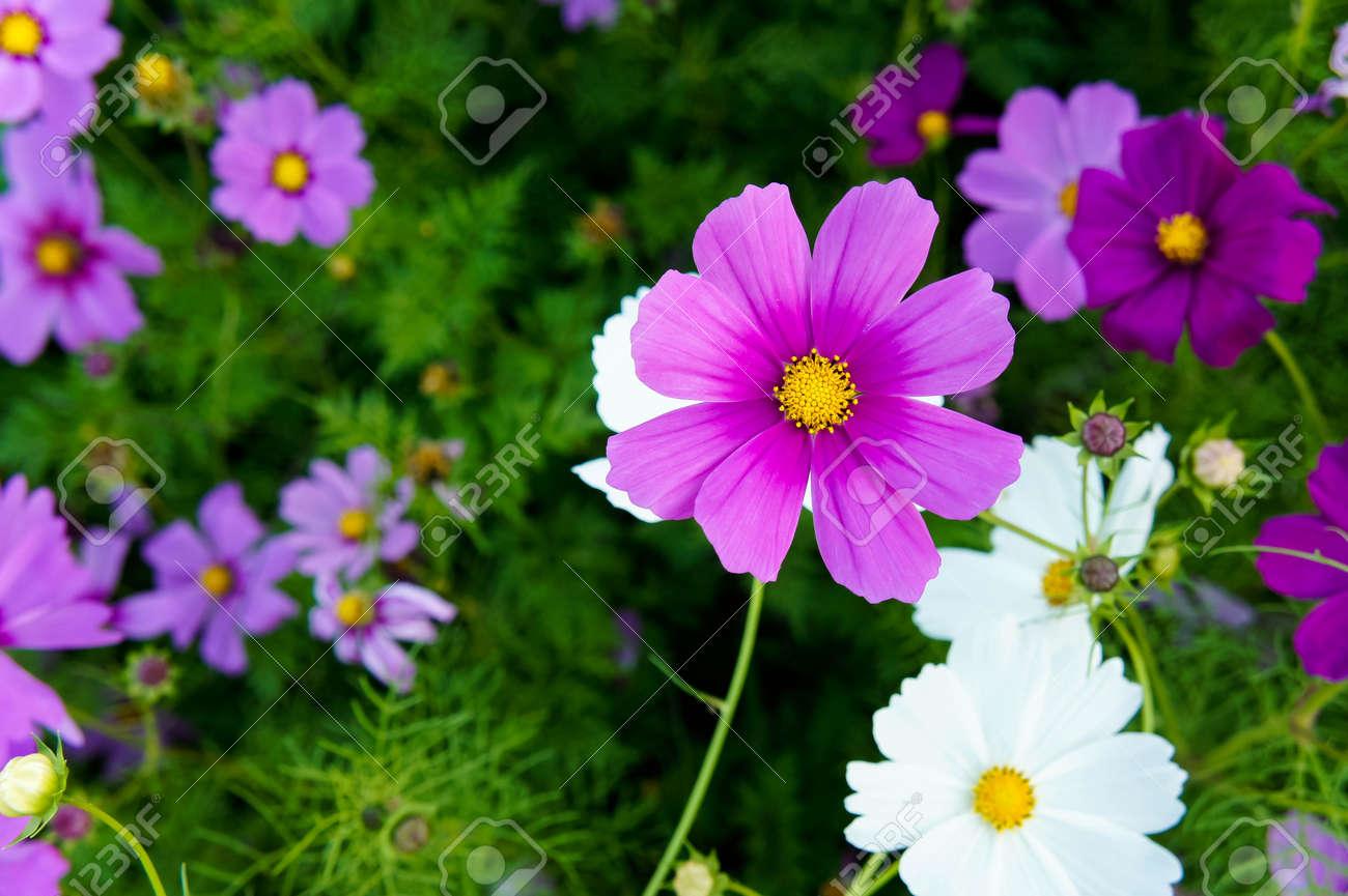 Fleurs Cosmos Couleur Rose Et Blanc Dans Le Jardin De La Nature