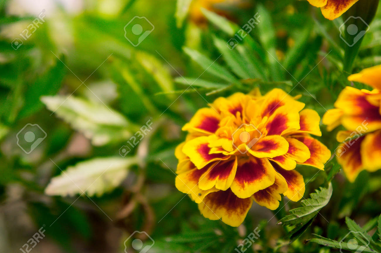 Marigold flowers in the garden on summer yellow flowers beautiful marigold flowers in the garden on summer yellow flowers beautiful flowers on summer in izmirmasajfo