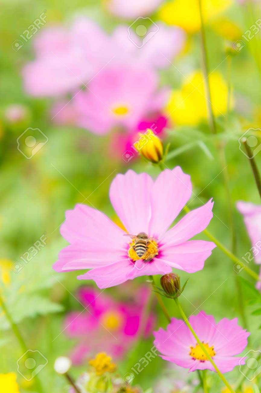 The Nice Day And Nice Flowers Cosmos Colorful On Field Pink Flowers