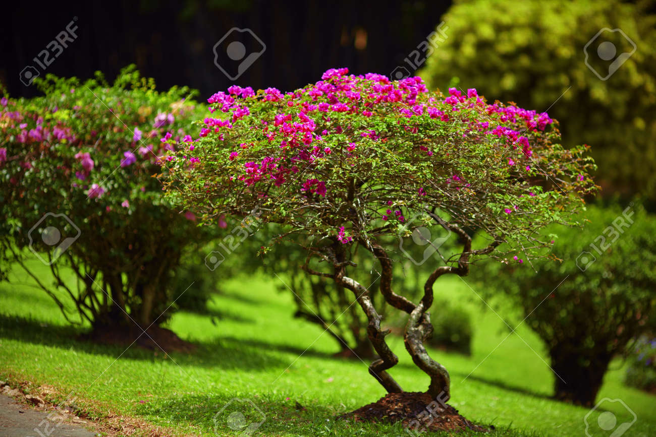 Small Gnarled Trees Blossoming With Pink Flowers On The Lawn Stock