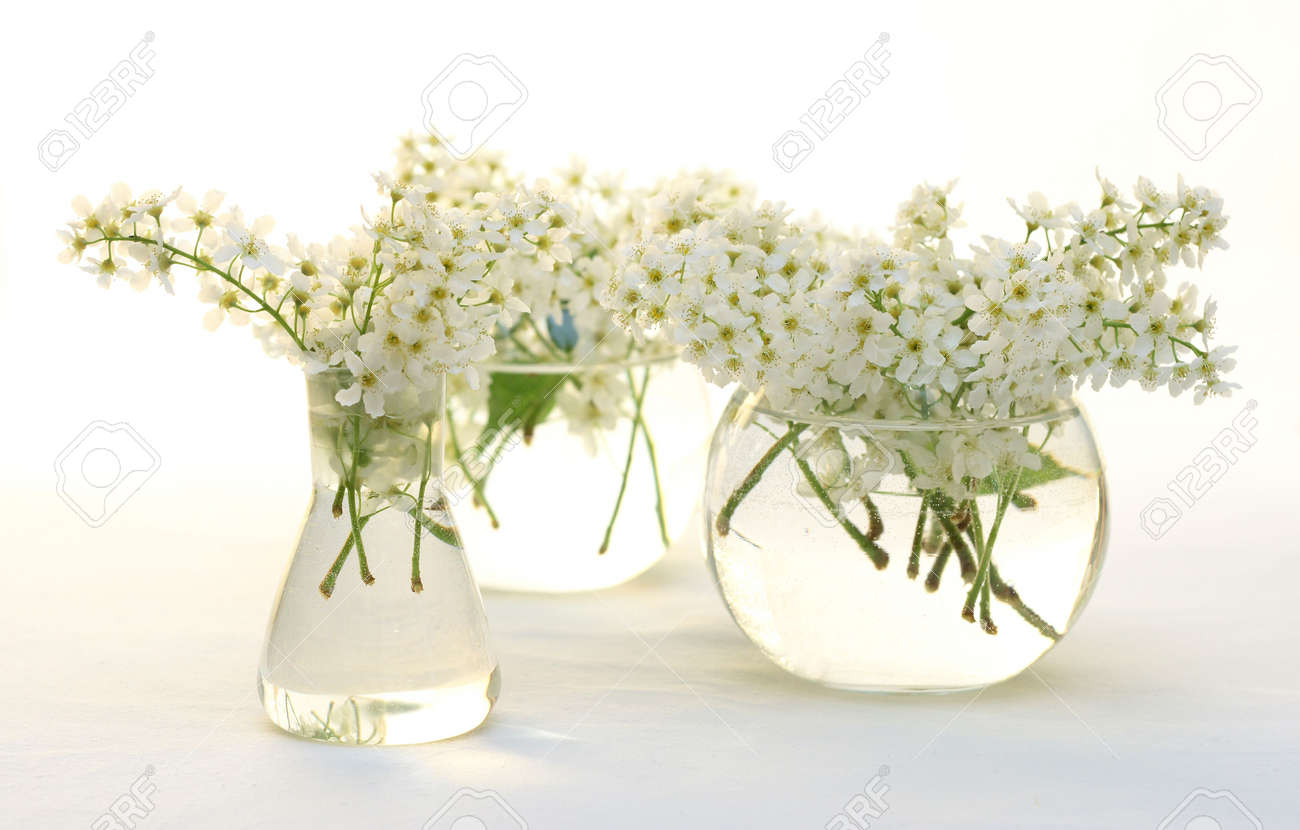 Bird Cherry White Flowers A Vase Transparent Water Round