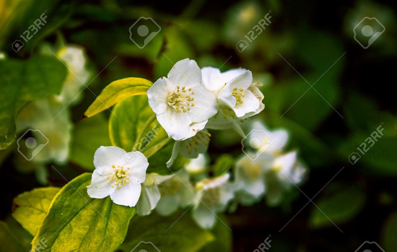 Delicate Flowers Fragrant Jasmine Spring Bunch Of Flowers Stock