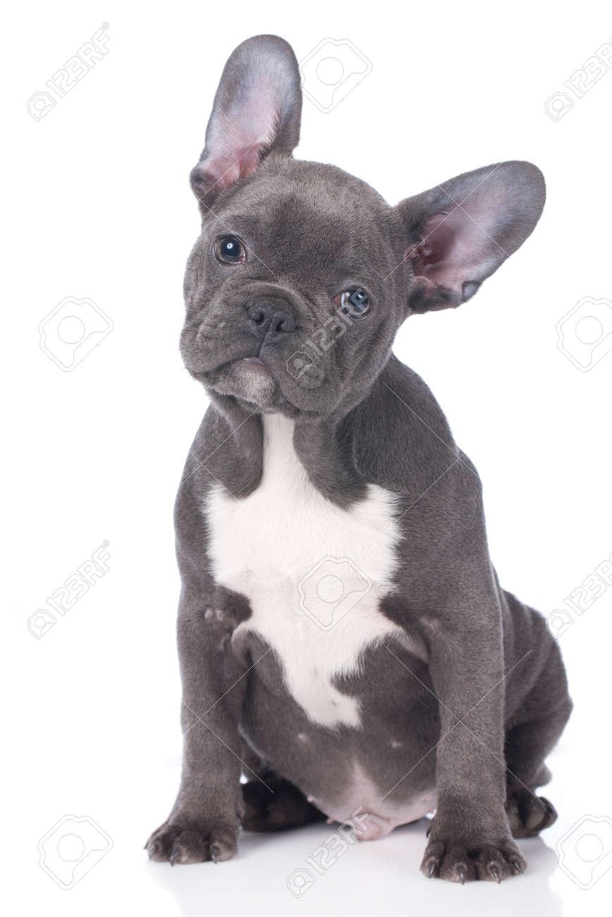 Geisoleerd Leuke Franse Bulldog Puppy Royalty Vrije Foto Plaatjes Beelden En Stock Fotografie Image 35276295