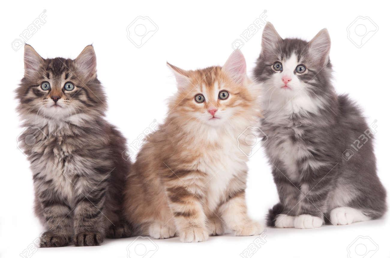Wonderbaar Drie Noorse Boskat Kitten Naast Elkaar Geïsoleerd Op Wit Royalty FW-16