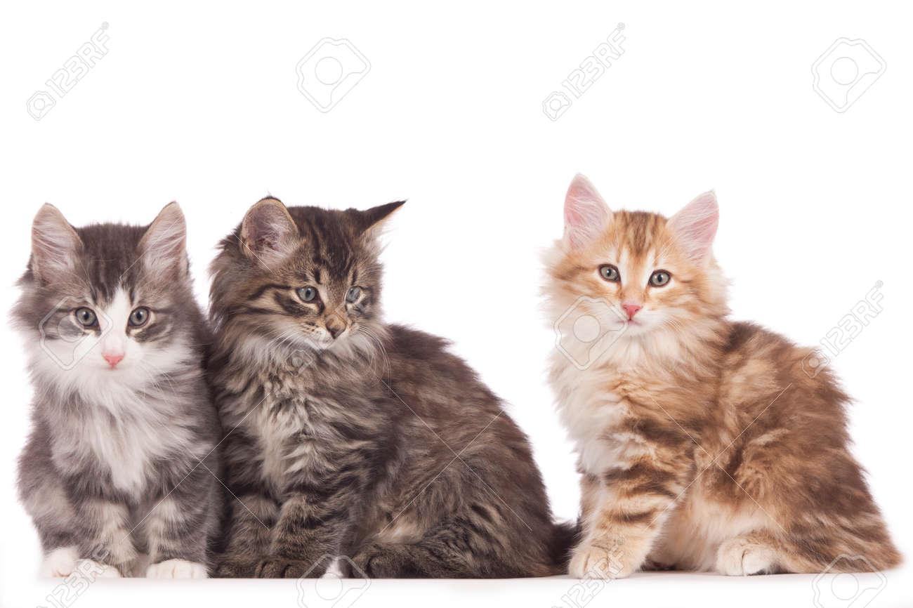 Verrassend Drie Noorse Boskat Kitten Naast Elkaar Geïsoleerd Op Wit Royalty BC-59