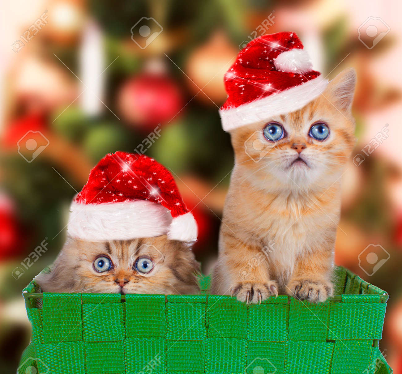 Two Persian Kitten With Santa Hats In Front Of A Christmas Tree ...