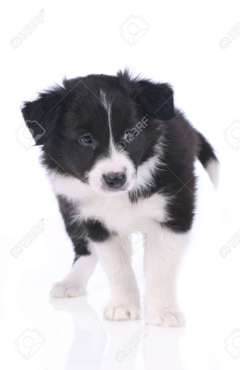 Cute Border Collie Puppy Standing On White Background Isolated Stock Photo Picture And Royalty Free Image Image 52307303