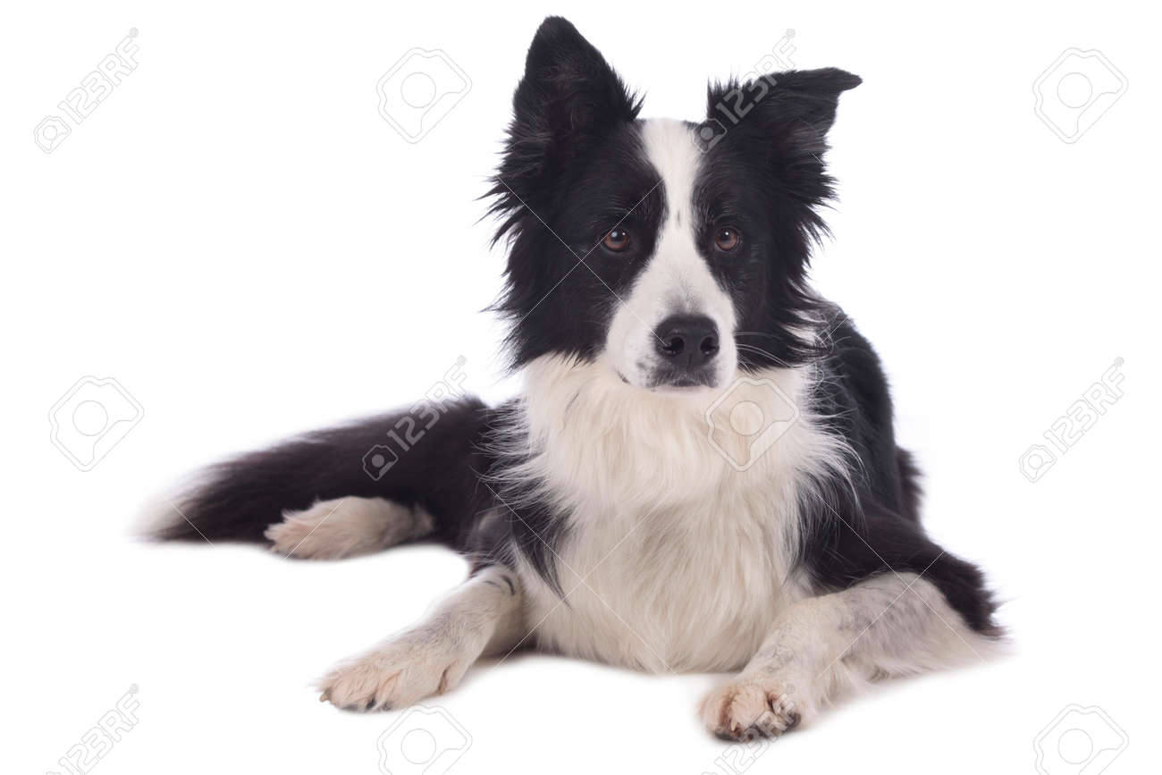 Cute black and white border collie dog lying on white background