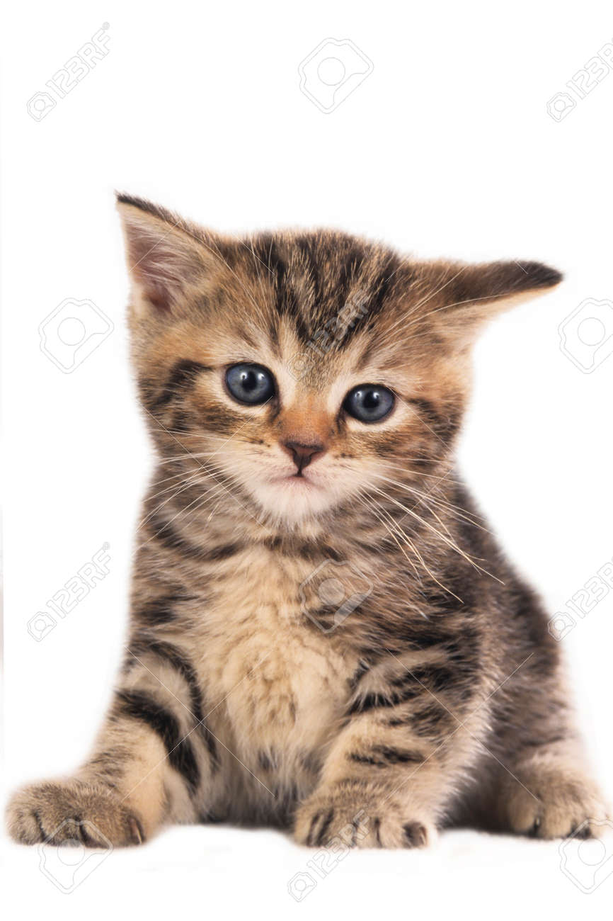 Beste Schattige Britse Korthaar Kitten Geïsoleerd Op Wit Royalty-Vrije LL-48