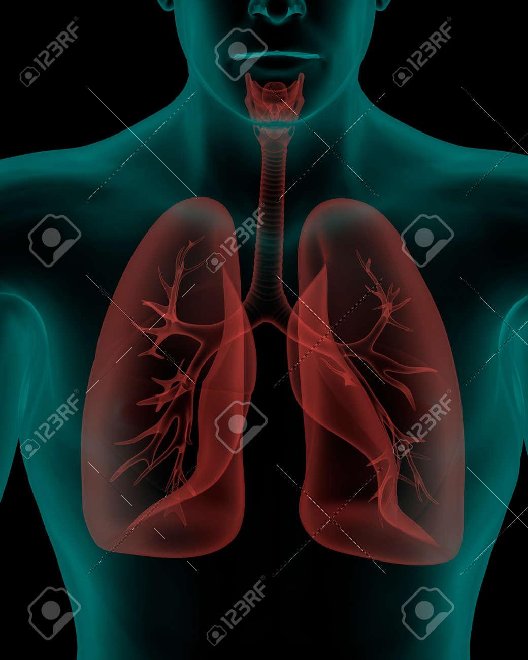 Cuerpo Humano Con El Sistema Respiratorio órganos Internos En Vista ...