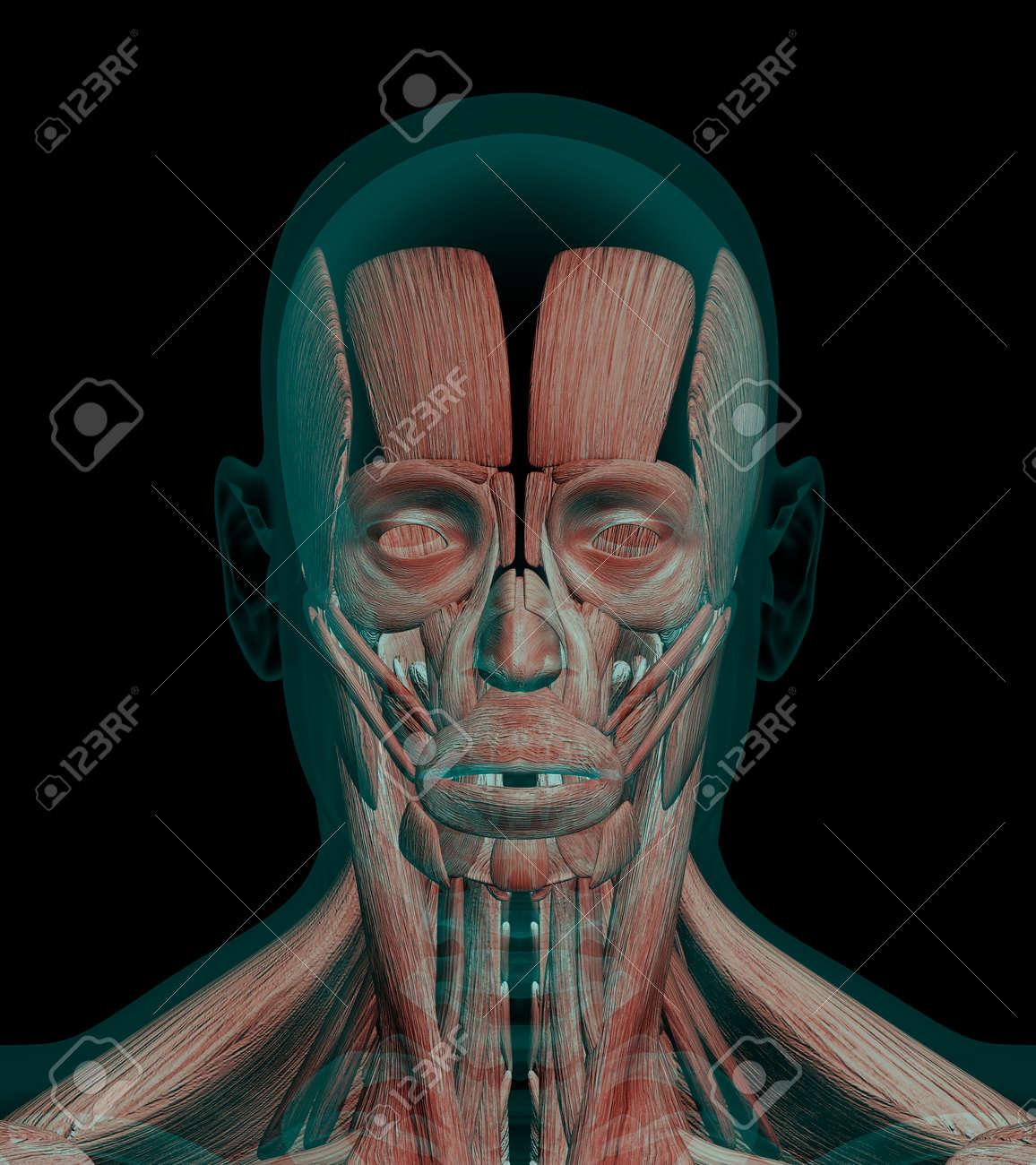 3D-Darstellung Anatomie Muscles Eines Kopfes Mit Knochen Röntgen ...