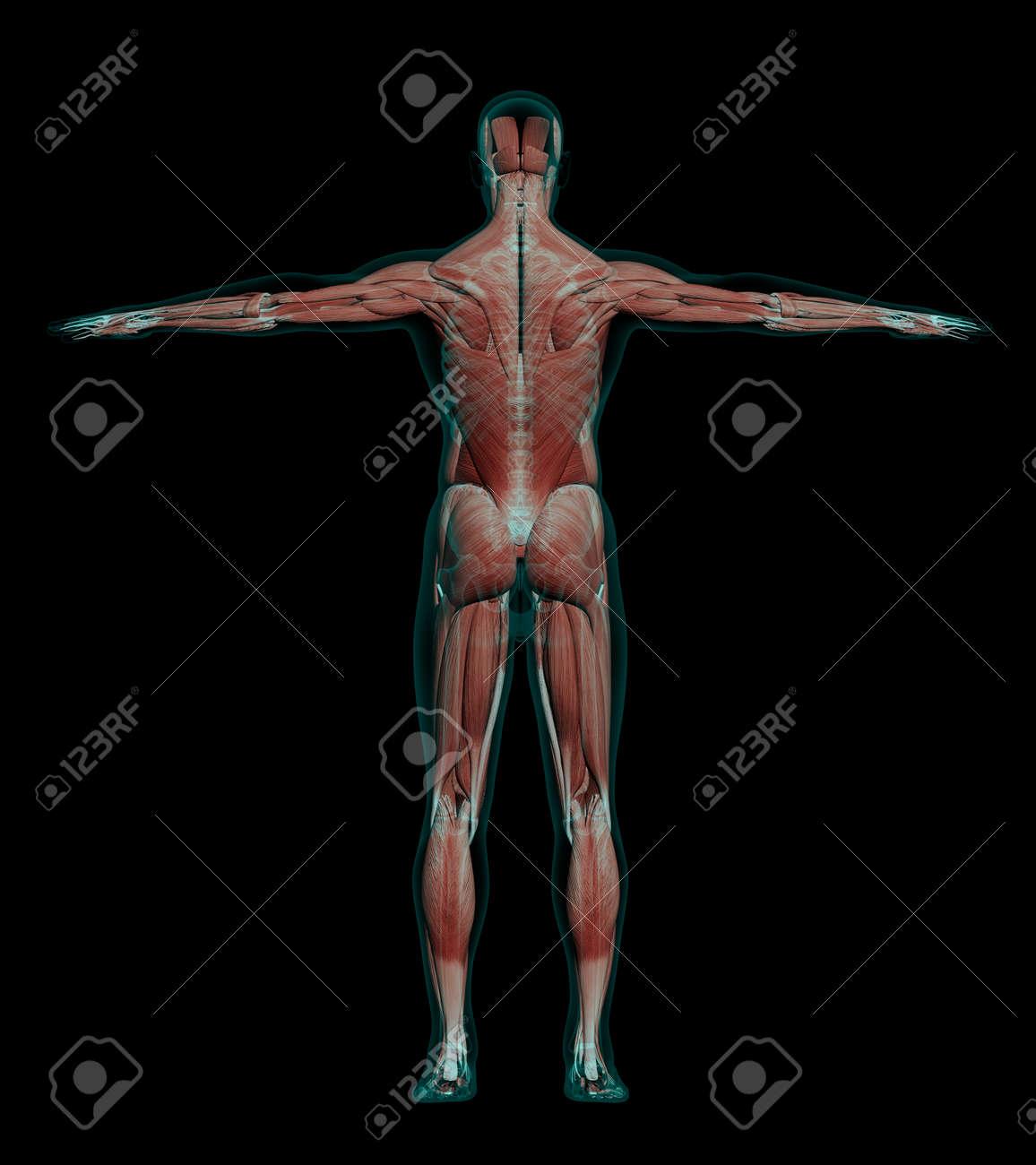 3D-Darstellung Der Menschlichen Männlichen Anatomie Mit Muskeln Und ...