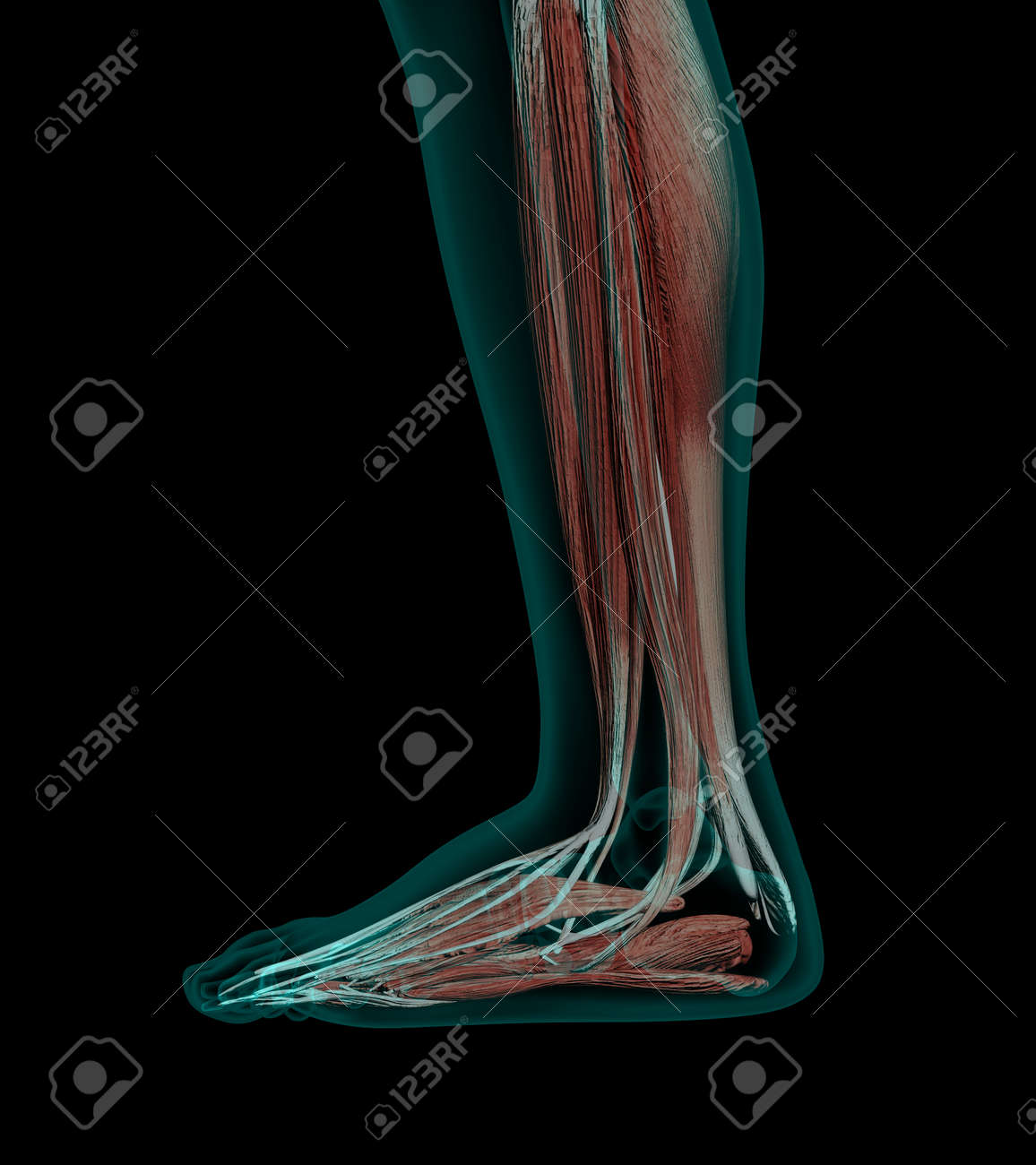 Human Anatomy Muscles Of A Leg With Bones X-ray Wiev Stock Photo ...