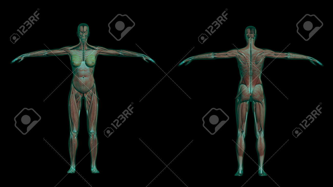 3D Illustration Of Human Female Anatomy With Muscles And Skeleton ...