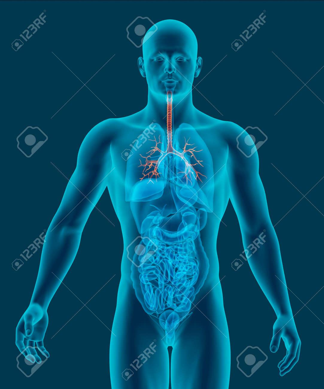 Der Menschliche Körper Röntgenscan Mit Sichtbaren Luftröhre Und ...