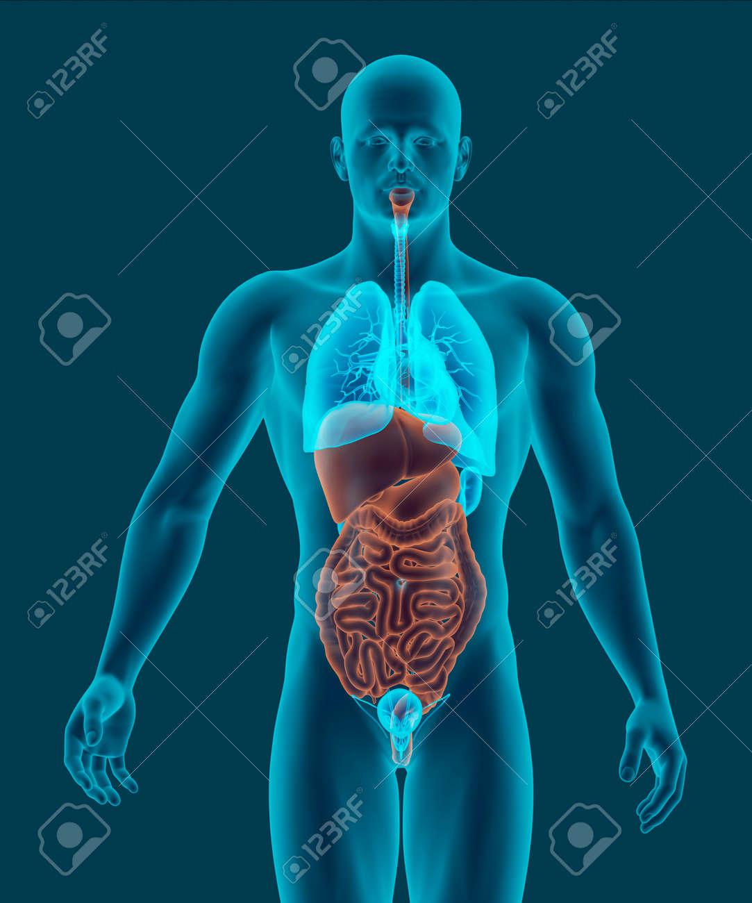 Ziemlich Menschliche Organe Lage Im Körper Bilder - Physiologie Von ...