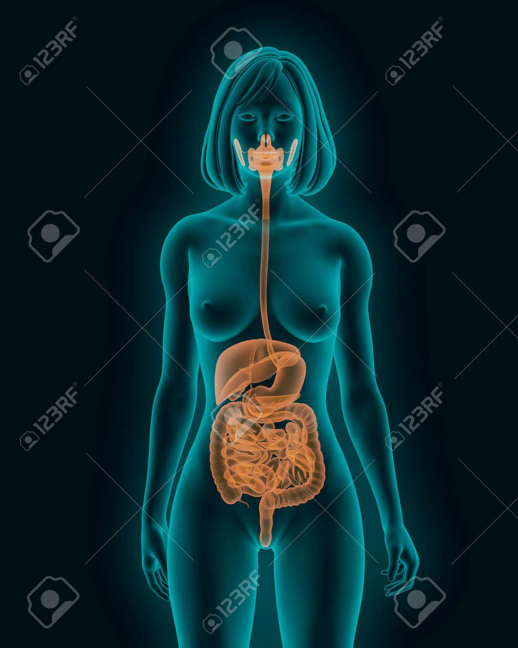 Mujer Cuerpo Con órganos Internos Del Sistema Digestivo En La Vista ...