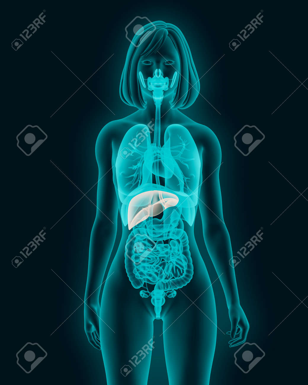 Anatomy Of Woman Liver With Digestive Organs In X-ray View 3d ...