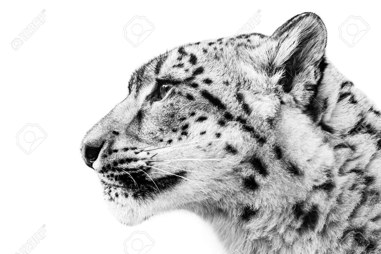 profile portrait of snow leopard against white background stock