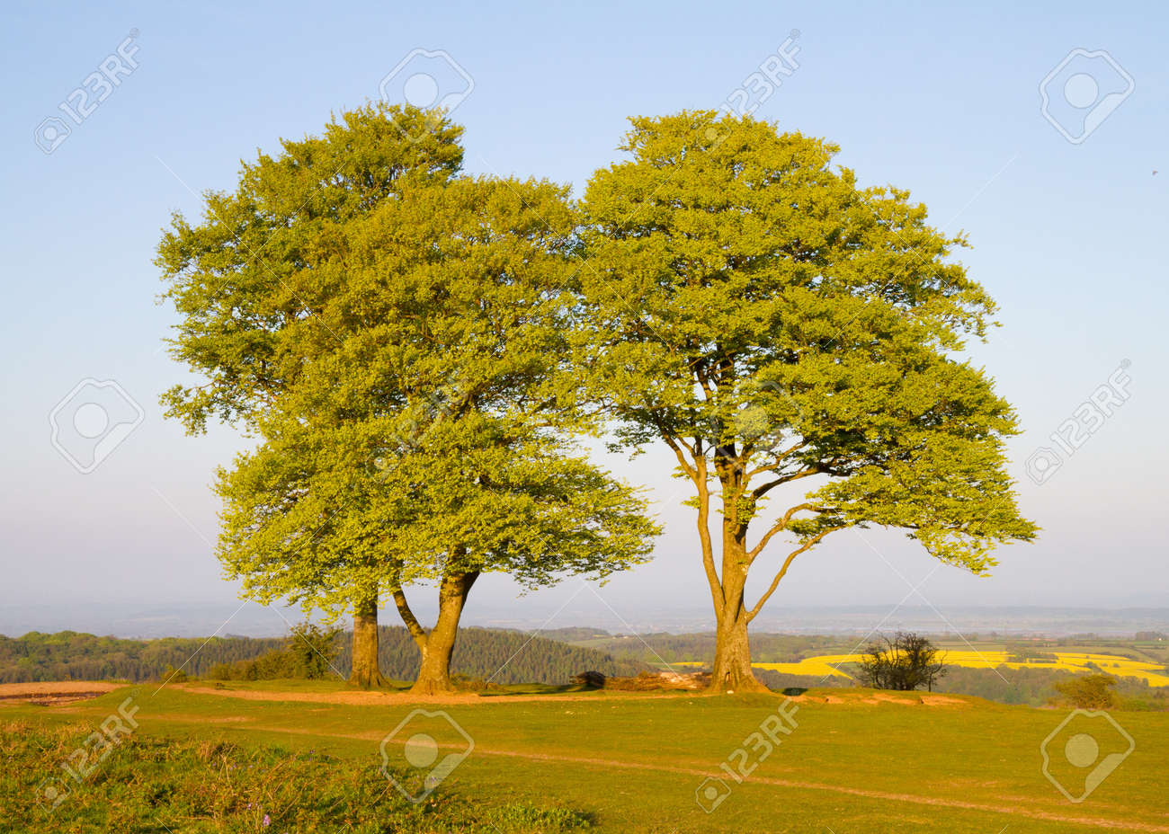 Beech trees on Cothelstone Hill in the Quantocks Stock Photo - 13785485