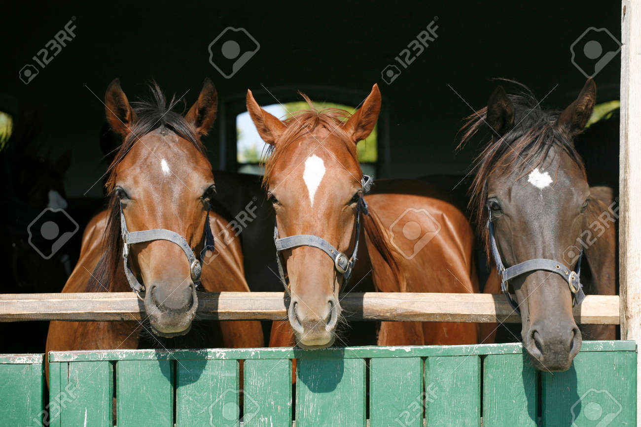 Beautiful Thoroughbred Horses At The Barn Door Stock Photo Picture