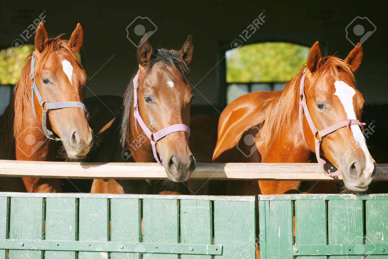 Beautiful Thoroughbred Horses At The Barn Door Nice Thoroughbred