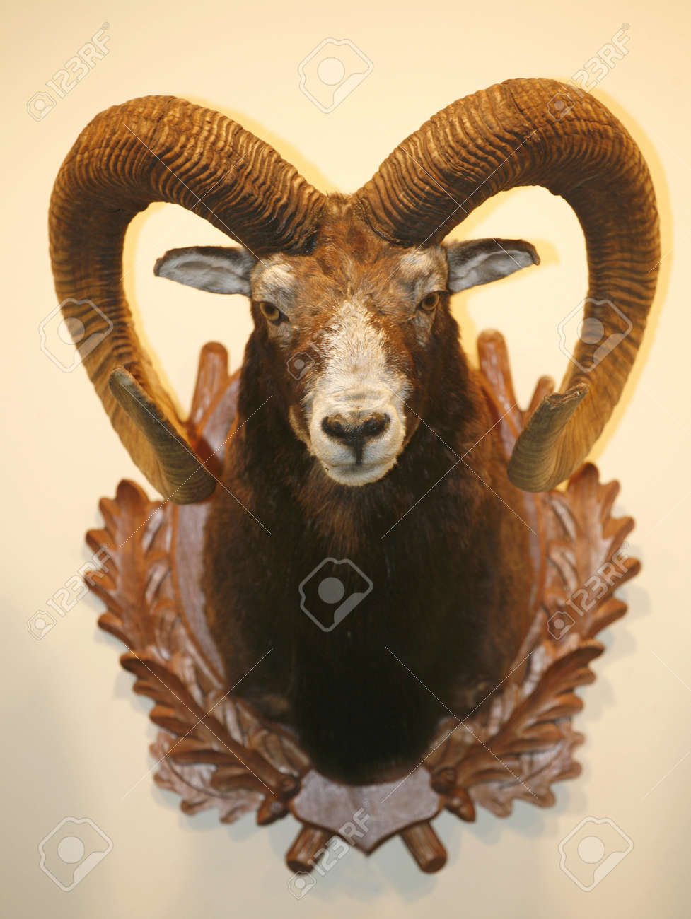 Closeup photo of moufflon skull hanging on wall - 36911260