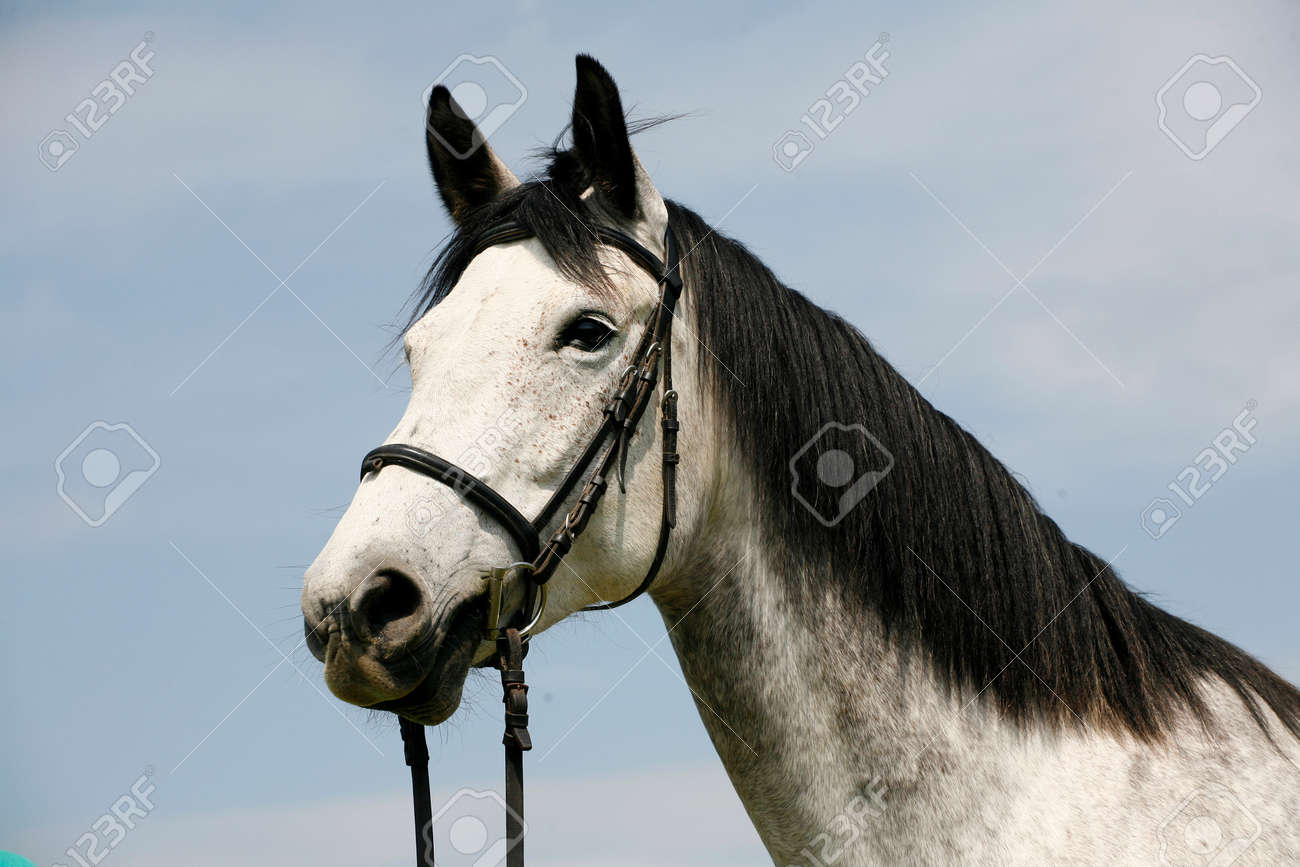 Head Of A Fleabitten Grey Horse With Leather Harness In Summer ...