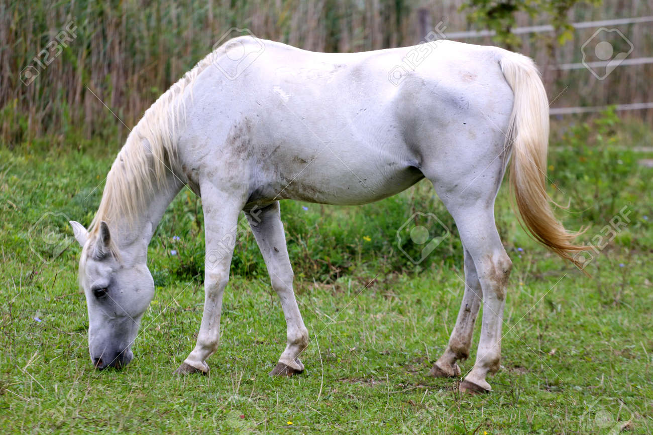 Thoroughbred Arabian Grey Horse Grazing Fresh Green Grass Stock Photo Picture And Royalty Free Image Image 48932896