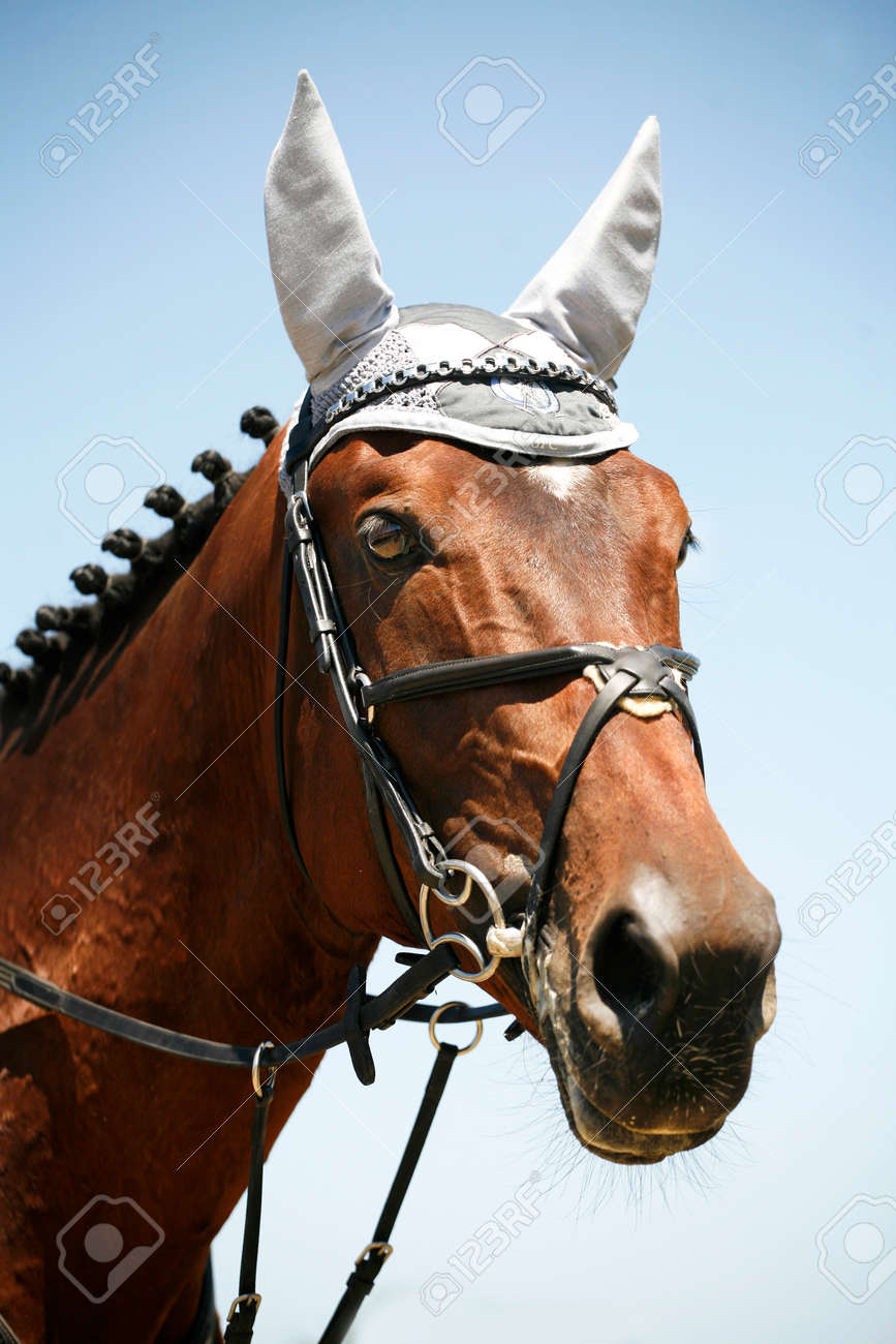 Portrait Of A Bay Colored Thoroughbred Jumping Horse Stock Photo Picture And Royalty Free Image Image 52574108